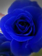 """""""blue rose"""""""