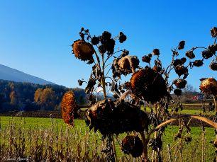 Herbstliche Sonnenblumen, Natters bei Innsbruck Tirol-Austria