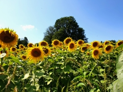 Sonnenblumenfeld Stmk. 2019